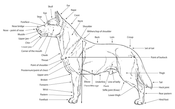 anatomical features border collie