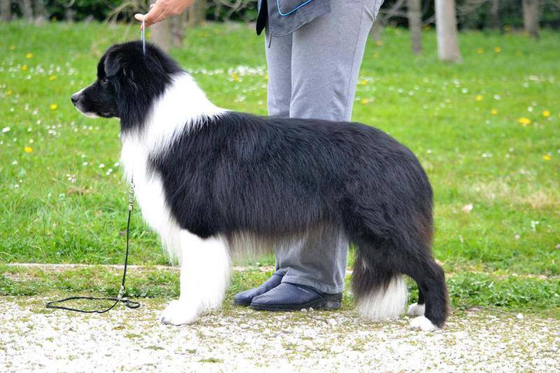 border collie bolt father