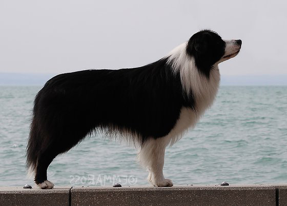 Breaking-Waves-By-The-Lake-Curtis-border-collie
