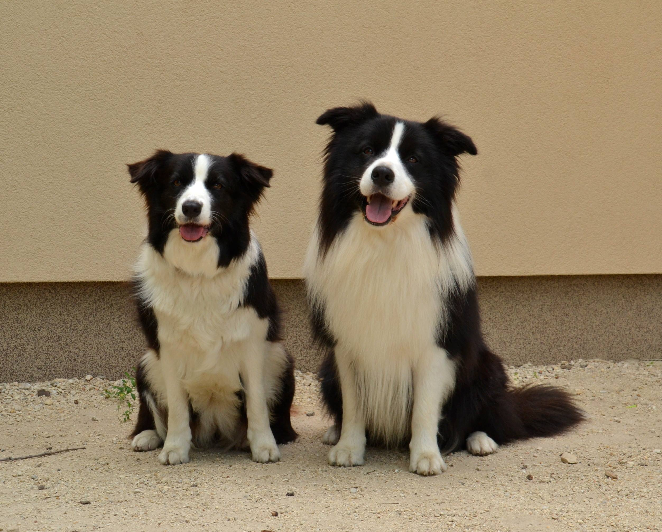 border collie litter