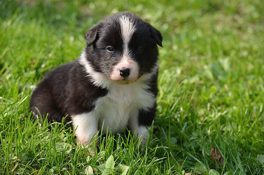 border-collie-štenci
